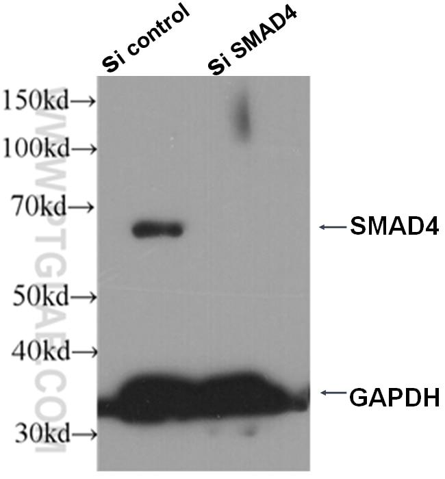 WB analysis of HepG2 cells using 51069-2-AP