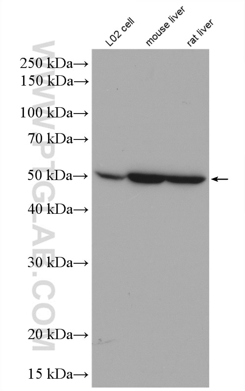 WB analysis of mouse liver using 25840-1-AP