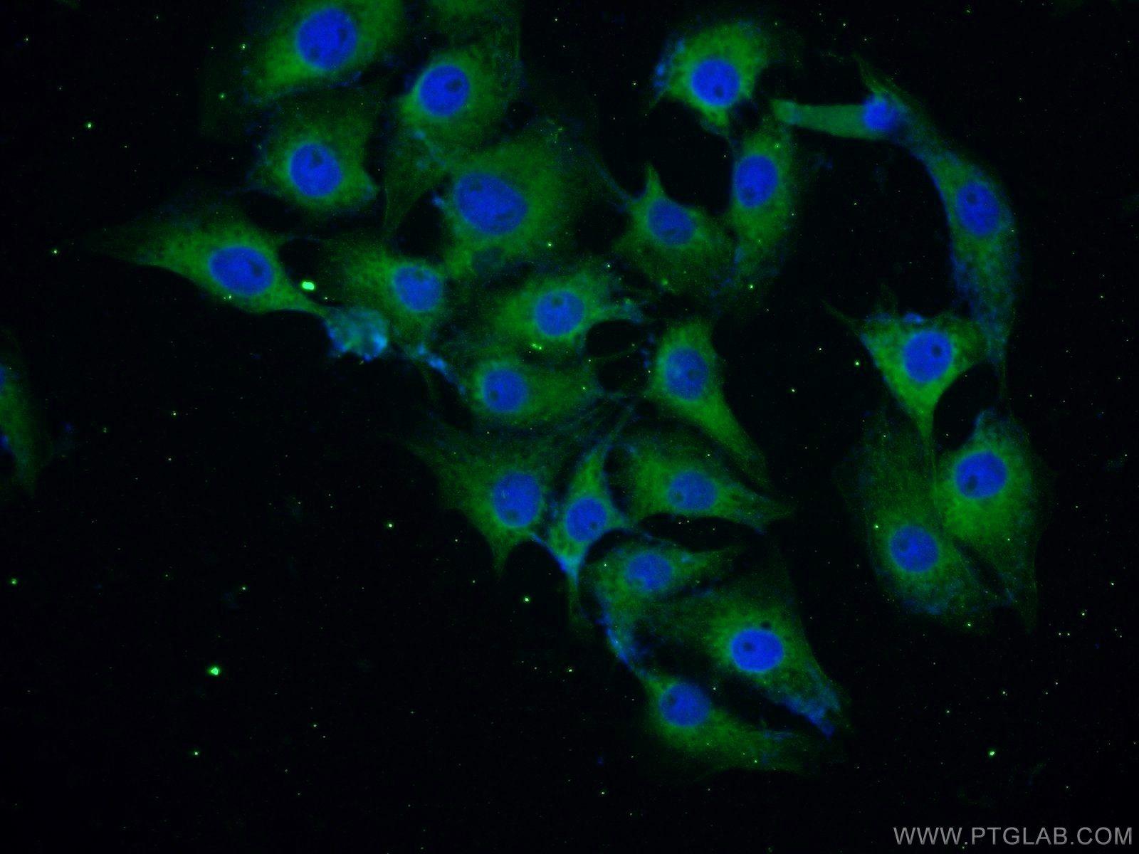 10842-1-AP;SH-SY5Y cells