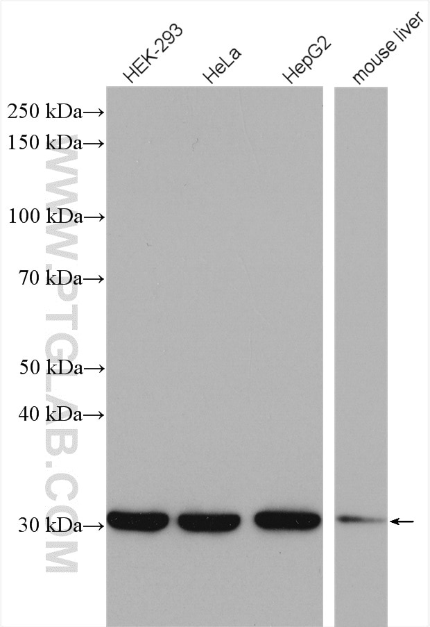 WB analysis using 10212-1-AP