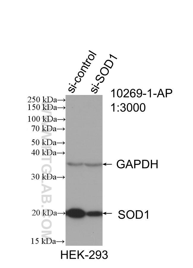 WB analysis of HEK-293 using 10269-1-AP