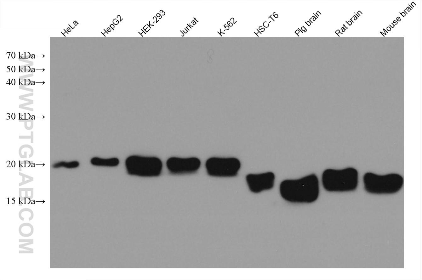 WB analysis using 67480-1-Ig