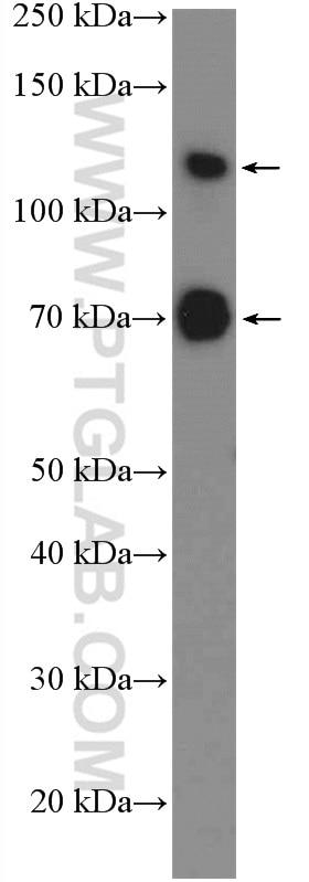 SP3 Polyclonal antibody