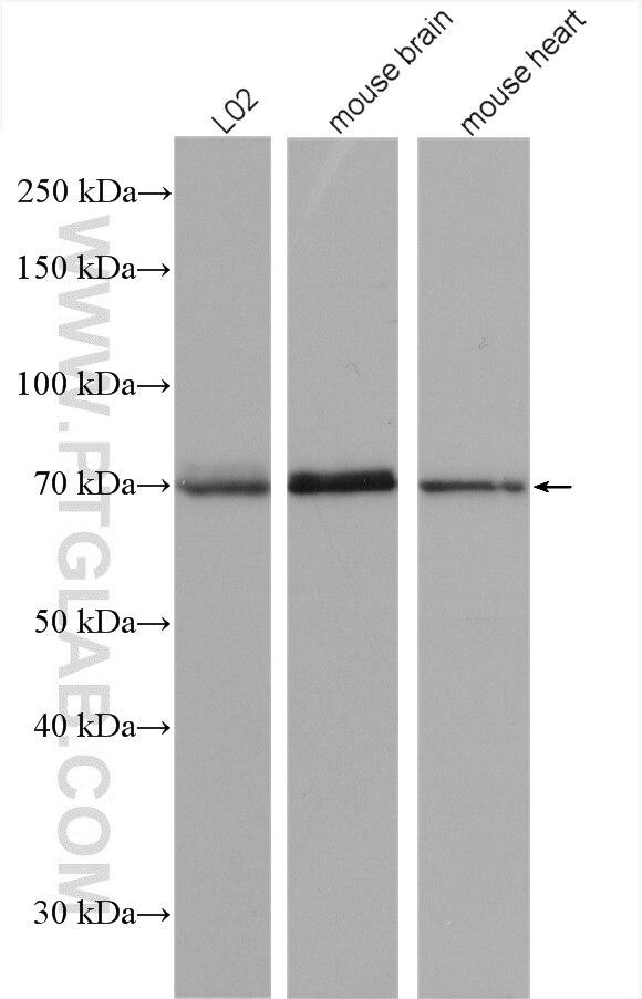 WB analysis using 17096-1-AP