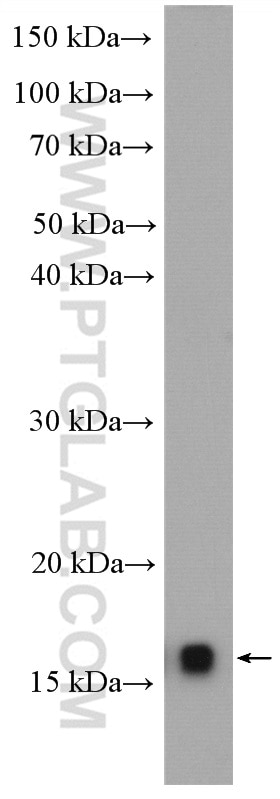 WB analysis of A549 using 12212-1-AP