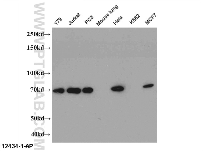 WB analysis of Multi-cells using 12434-1-AP