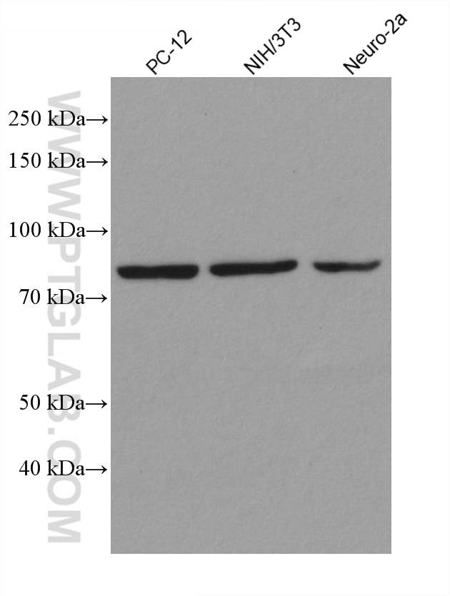 WB analysis using 80149-1-RR