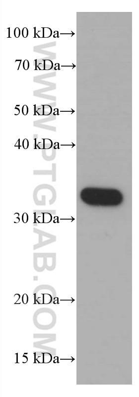Syntaxin 1A / Syntaxin 1B