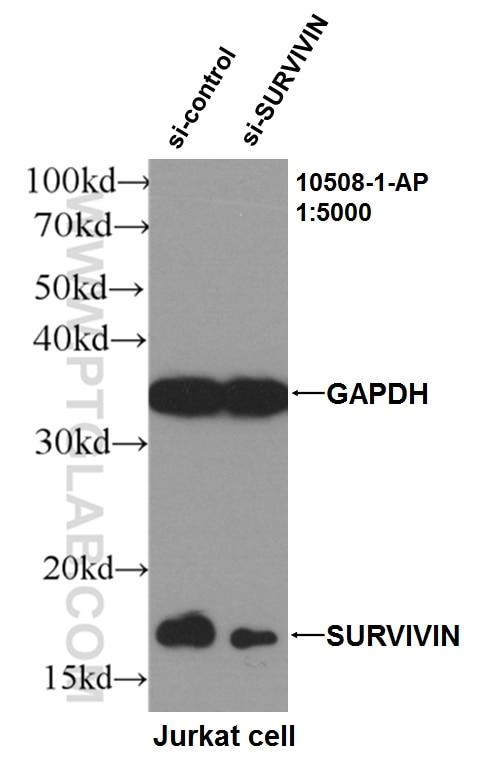 WB analysis of Jurkat using 10508-1-AP