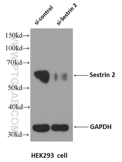 WB analysis of HEK-293 using 10795-1-AP