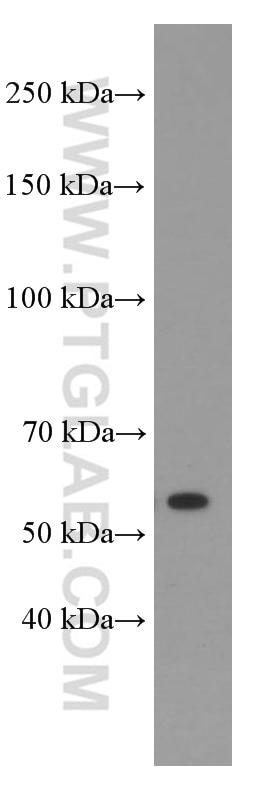 WB analysis of HeLa using 66297-1-Ig