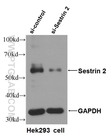 WB analysis of HEK-293T using 66297-1-Ig
