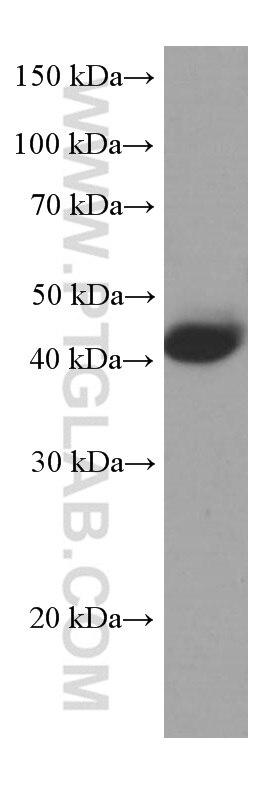 66166-1-Ig;pig liver tissue