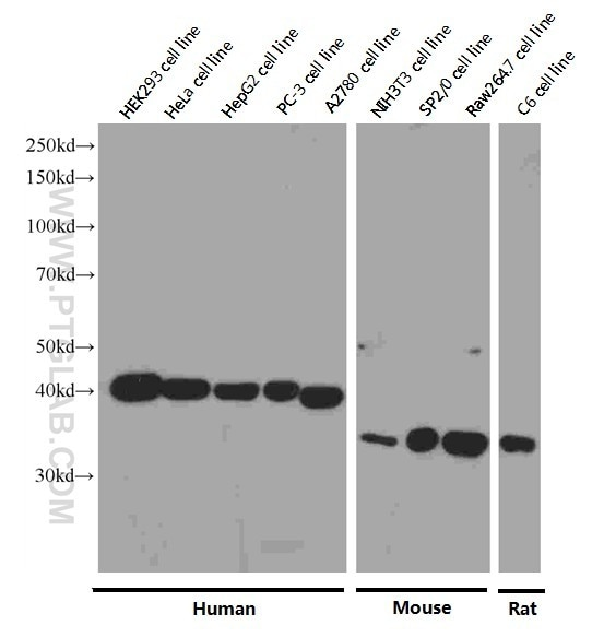 WB analysis of HEK-293 using 66166-1-Ig