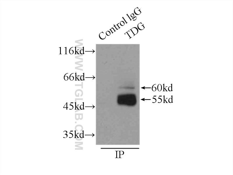 IP experiment of U-937 using 13370-1-AP