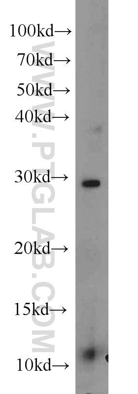 WB analysis of K-562 using 10097-2-AP