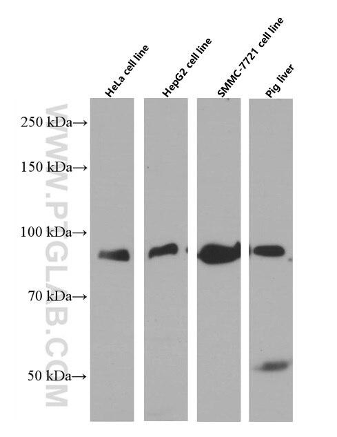 WB analysis of HeLa using 66477-1-Ig