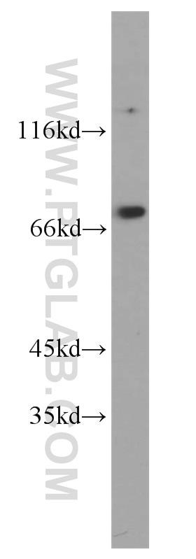 WB analysis of HEK-293 using 10920-1-AP