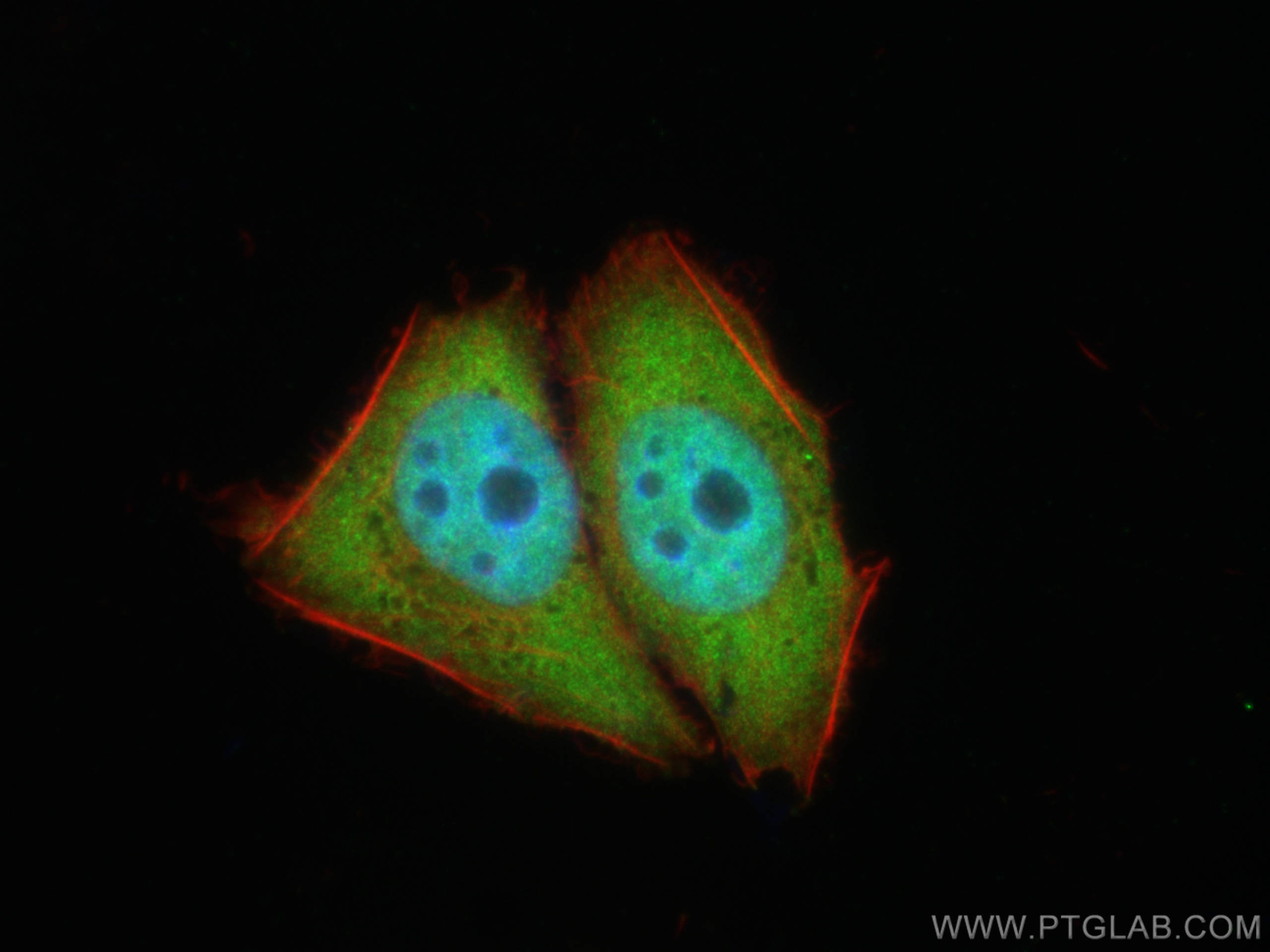 IF Staining of L02 using 12133-2-AP