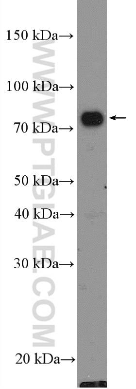 WB analysis of Raji using 23288-1-AP