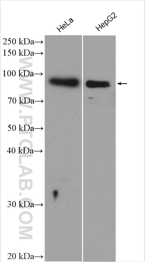 WB analysis of HeLa using 11372-1-AP