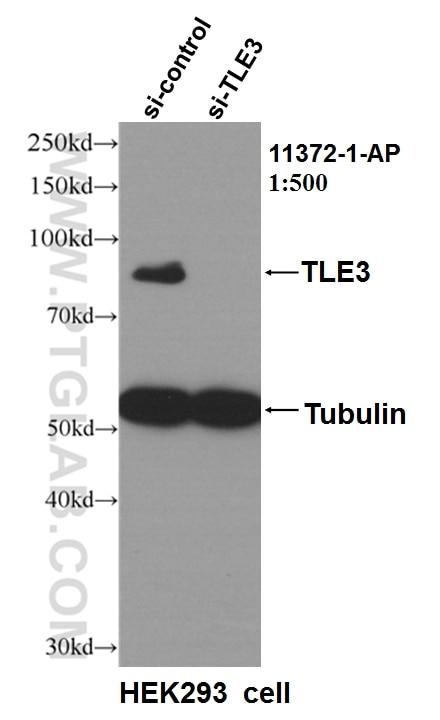 WB analysis of HEK-293 using 11372-1-AP