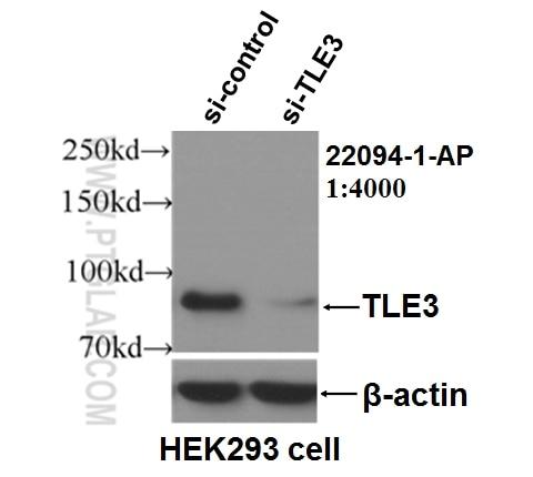 WB analysis of HEK-293 using 22094-1-AP
