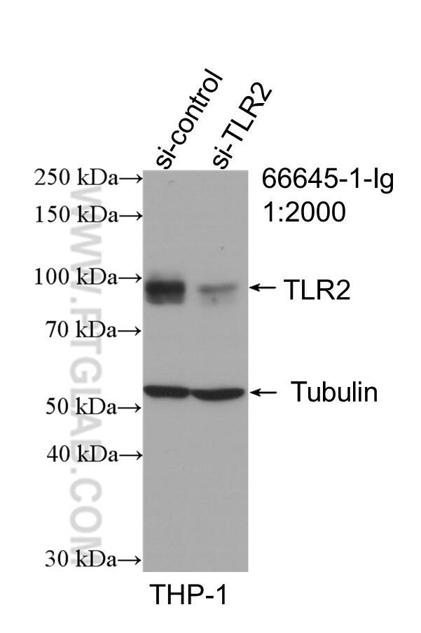 WB analysis of THP-1 using 66645-1-Ig
