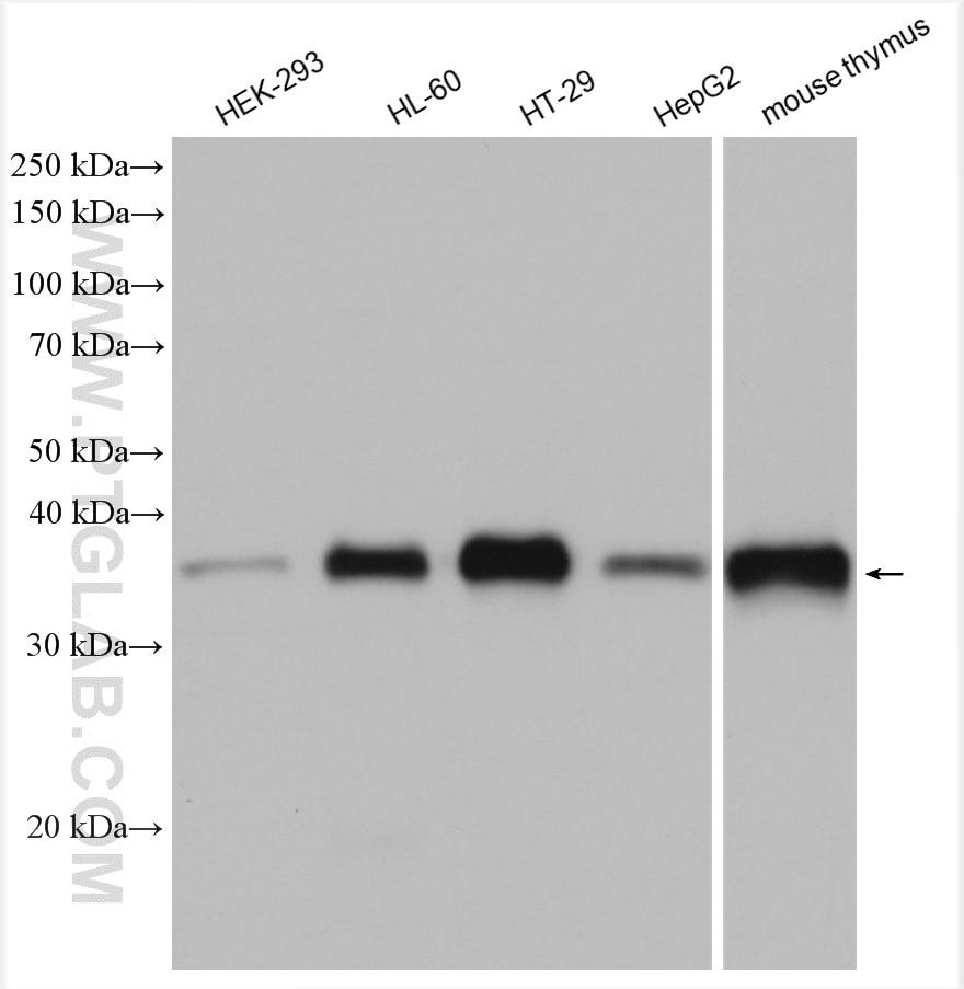 WB analysis using 19851-1-AP