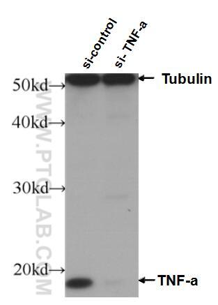WB analysis of HeLa using 60291-1-Ig