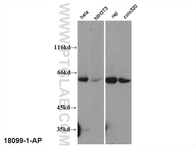 WB analysis of multi-cells using 18099-1-AP