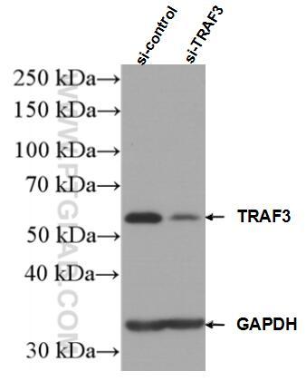 WB analysis of HEK-293 using 18099-1-AP