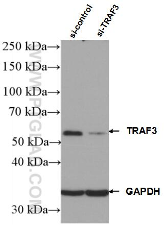 WB analysis of HEK-293 using 66310-1-Ig