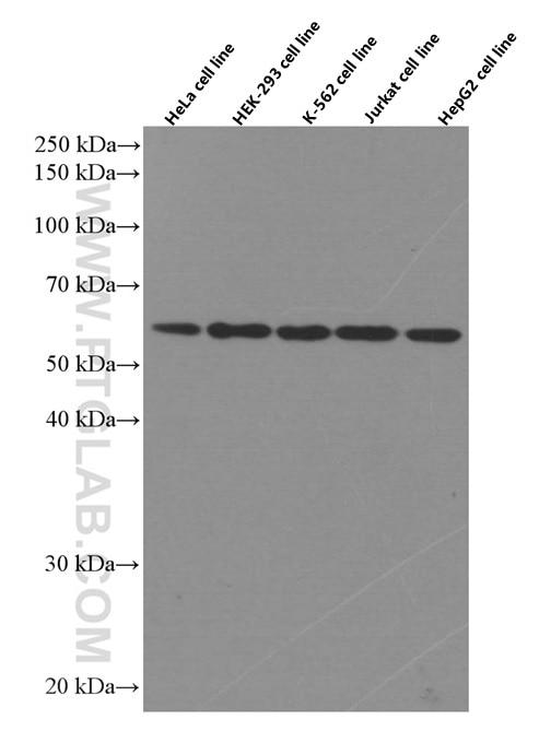 TRAF6 Monoclonal antibody