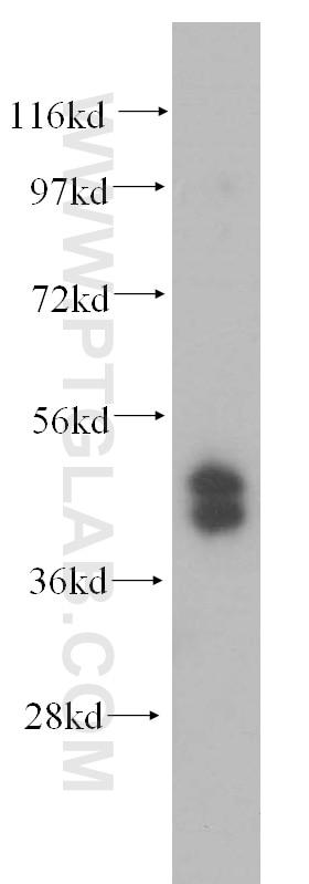 WB analysis of HepG2 using 15753-1-AP