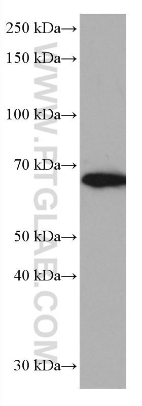 WB analysis of HeLa using 66896-1-Ig