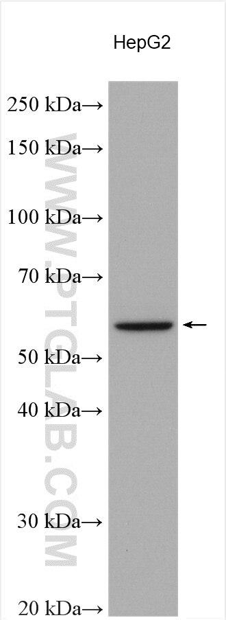 WB analysis using 11953-1-AP