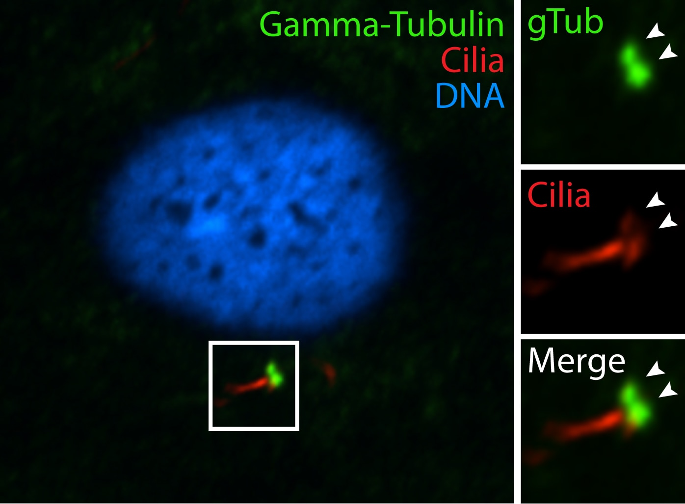 Gamma Tubulin Polyclonal antibody
