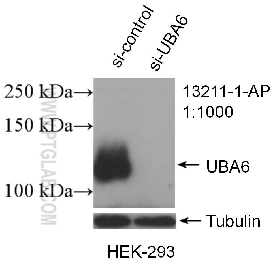 WB analysis of HEK-293 using 13211-1-AP