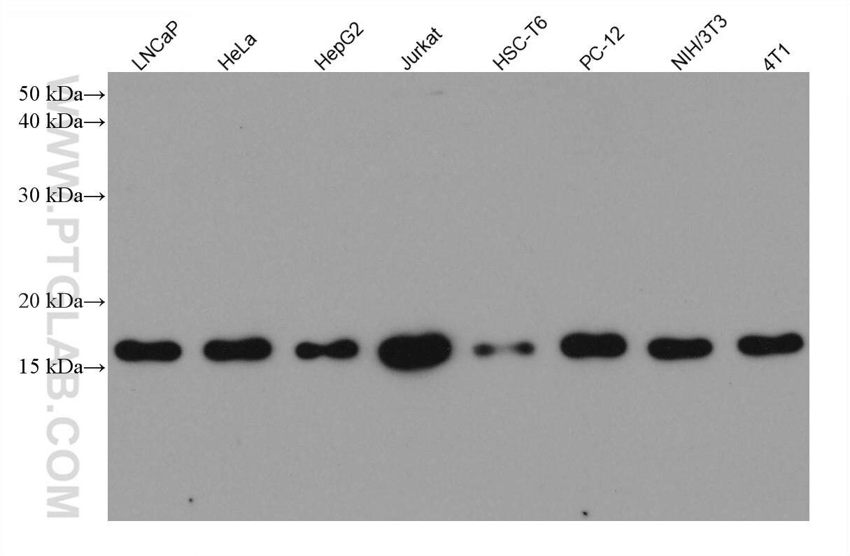 WB analysis using 60201-1-Ig