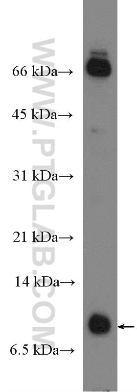 WB analysis of rat lung using 26909-1-AP