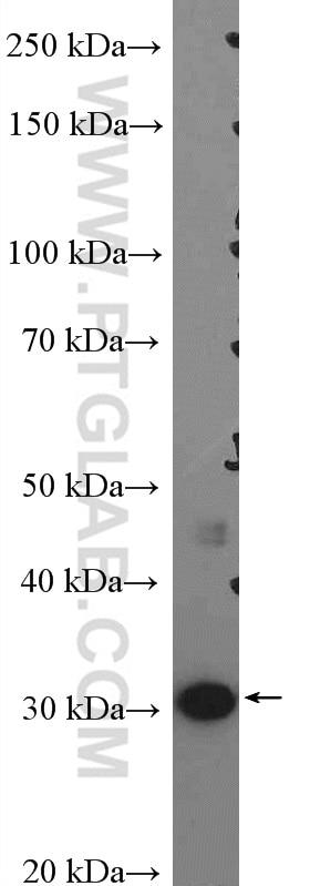 55259-1-AP;A431 cells