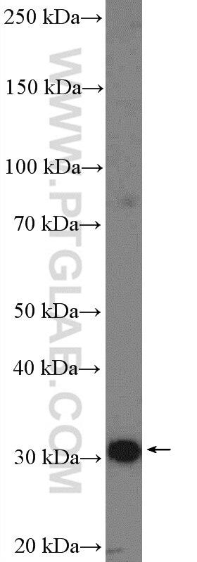 55259-1-AP;mouse heart tissue