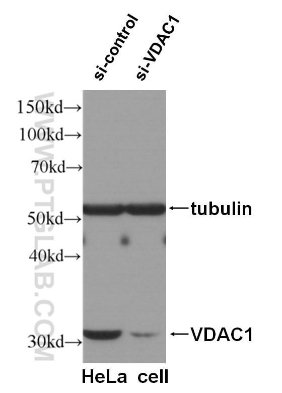 WB analysis of HeLa cells using 55259-1-AP