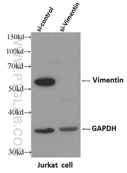 WB analysis of Jurkat cells using 10366-1-AP