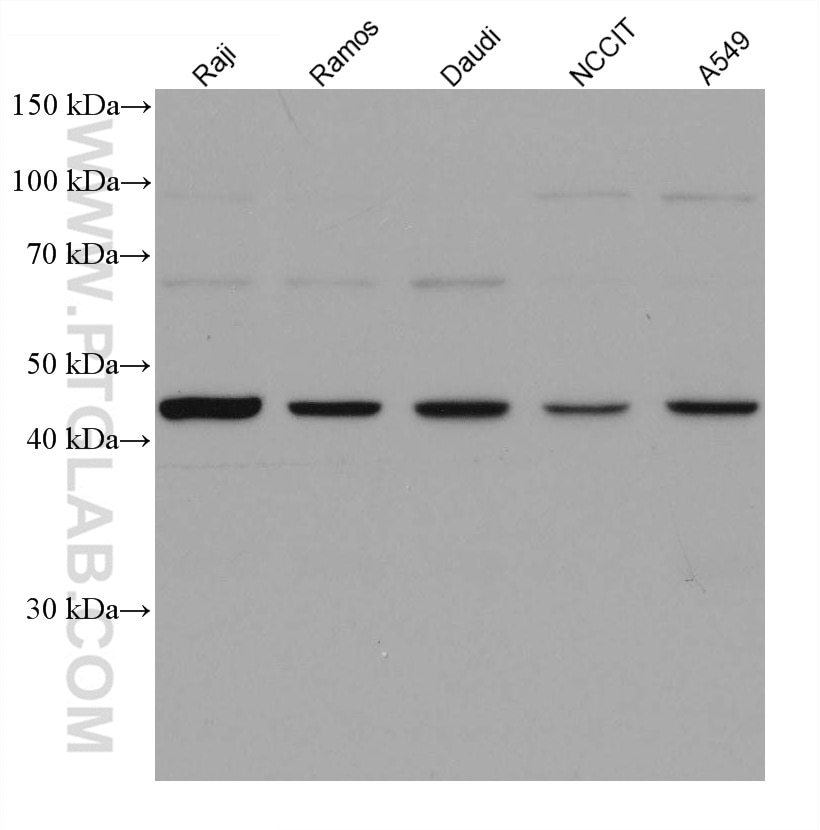 WB analysis using 67626-1-Ig