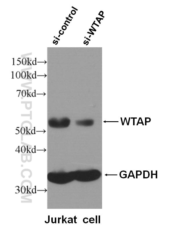 WB analysis of Jurkat cells using 10200-1-AP