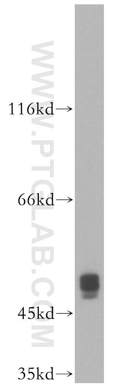 XIAP Polyclonal antibody
