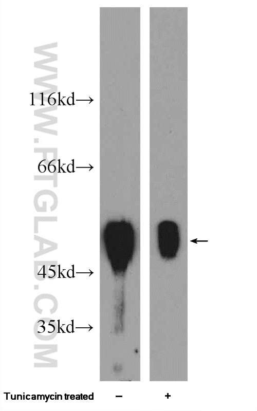 WB analysis of HepG2 using 23453-1-AP