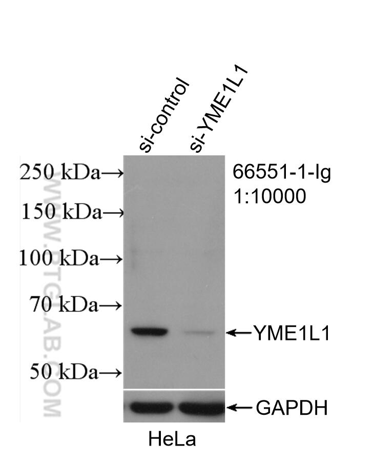WB analysis of HeLa using 66551-1-Ig
